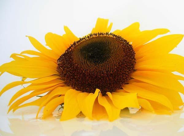 sun-flower-seeds